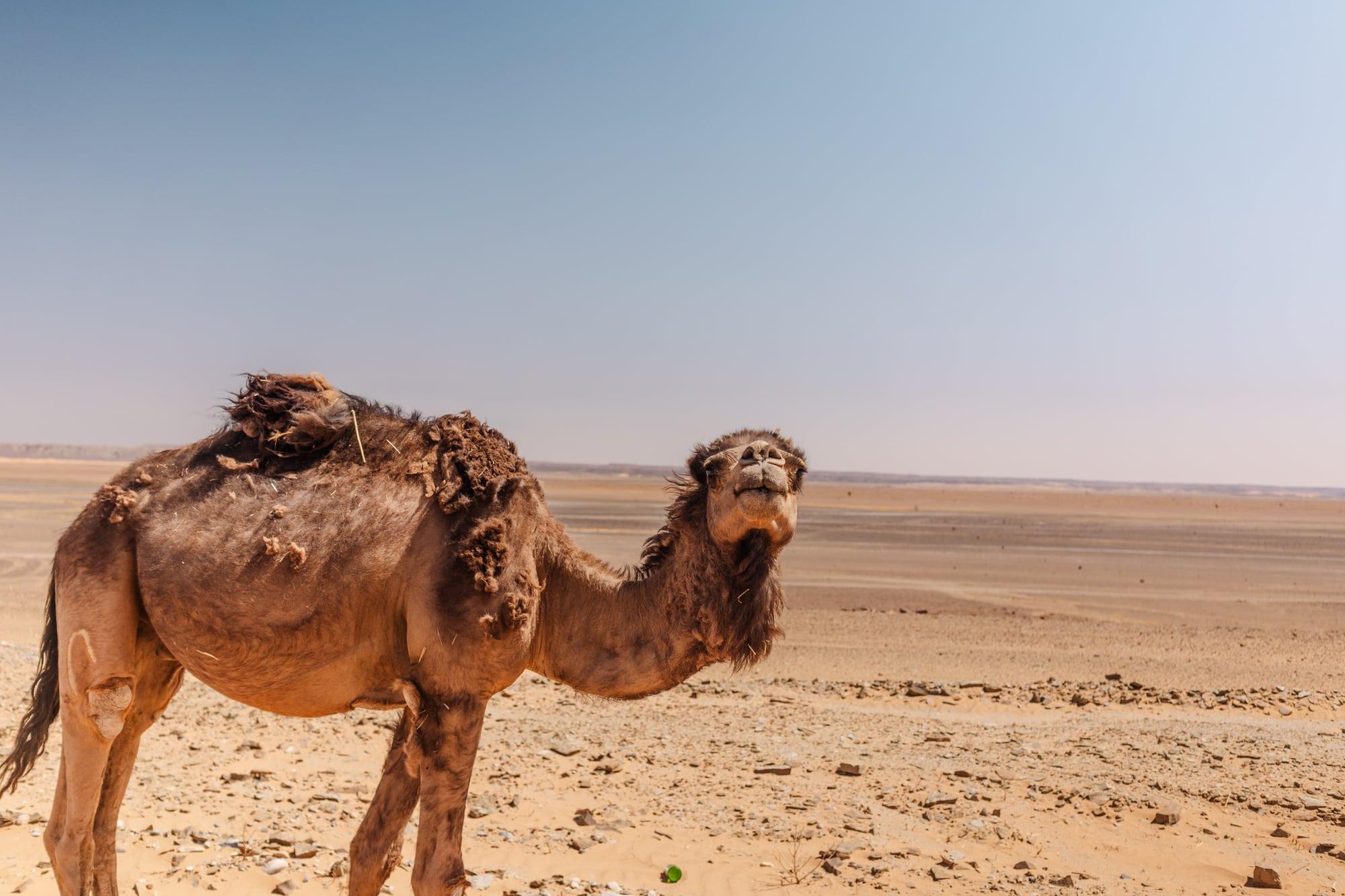 Morocco-camel-sahara-desert